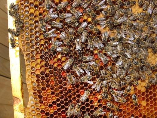 генофонд местных пчел, чистопородные репродукторы, среднерусская пчела, В. Пономарев