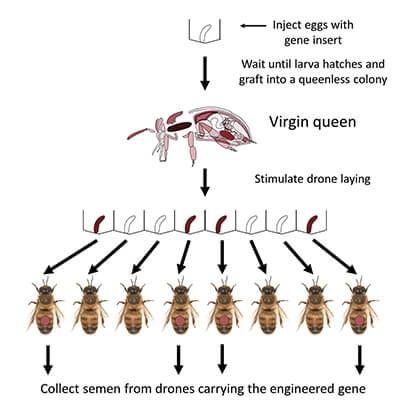 Нынешняя модель развития мировой экономики и сельского хозяйства оставляет медоносным пчелам и другим опылителям все меньше шансов на выживание. Варианты спасения пчел, предлагаемые учеными и специалистами различных стран, пока не способны решить эту проблему.