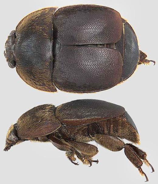 Ирландия готовится к вторжению малого ульевого жука