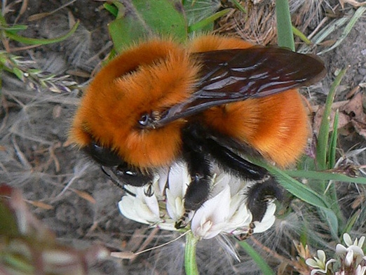 европейский шмель, угроза пчелам