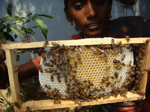Правительственная помощь пчеловодству в Индии