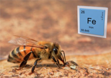 Железо - гарантия жизнеспособности пчелиной семьи