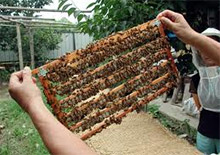Производство пчелиного маточного молочка в Китае