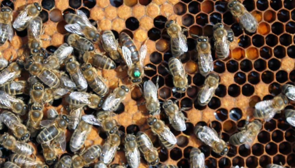 Бесконтрольный завоз инородных пород пчел. Эпидемия помутившегося разума